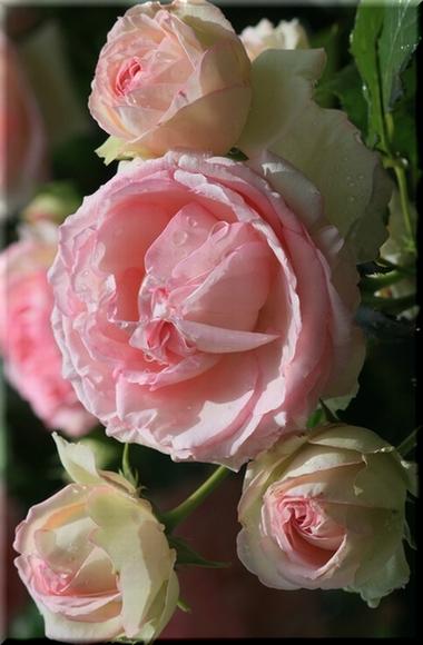 2013 バラの花部門 入選